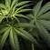 Lielbritānijā legalizēta medicīniskā marihuāna